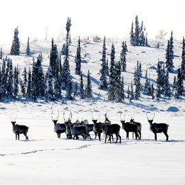 Laurier Cold Regions Research Centre to host lecture on caribou decline in Northwest Territories