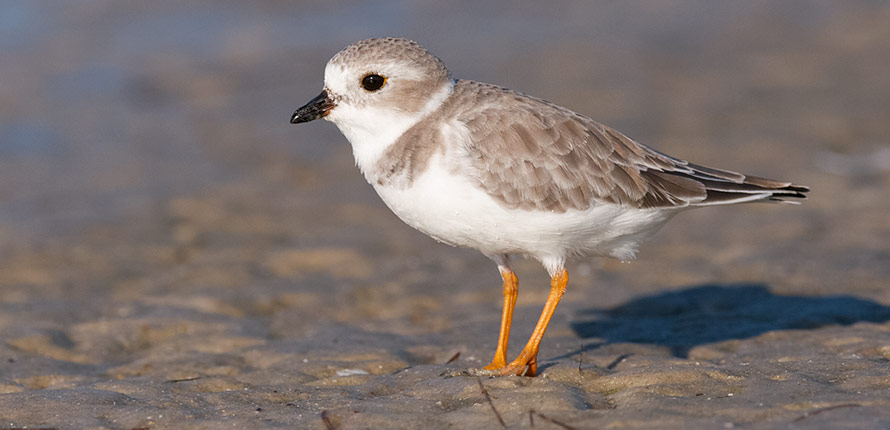 Piping plover bird sitting on a beach.