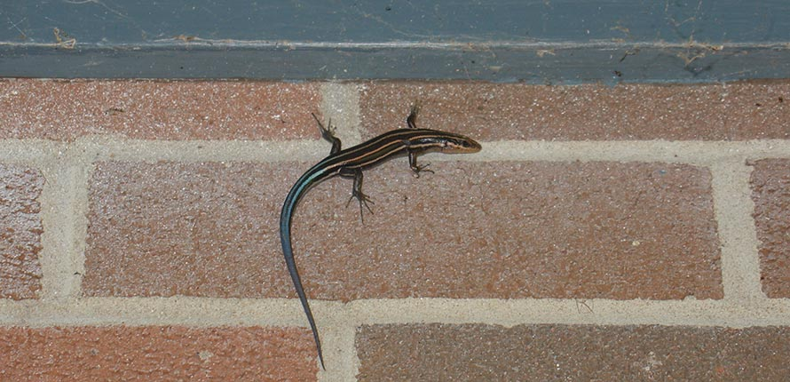 Five-lined skink lizard on a brick wall.