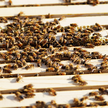 Image - Research abuzz with new apiary on Laurier's Brantford campus