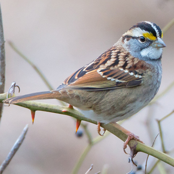 Image - Laurier researcher discovers white-throated sparrows' new song has spread across the continent